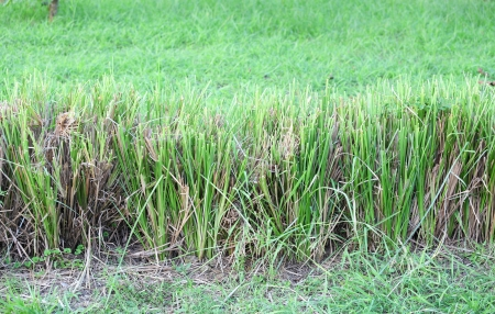 The Vetiver Grass or Vetiveria zizanioides use for protect the soil slide for background use Stock Photo