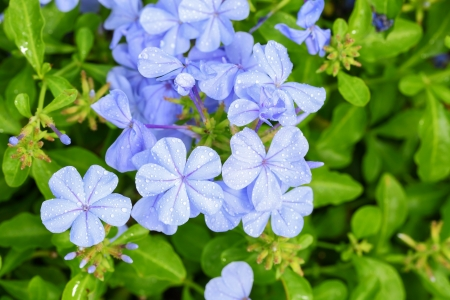 auriculata: The close up of  Plumbago auriculata Lam   for background use