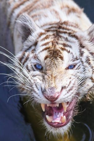 White tiger intimidate to the camera