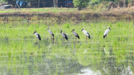 Asian Openbill stork in rice field of Thailand Stock Photo - 16471863