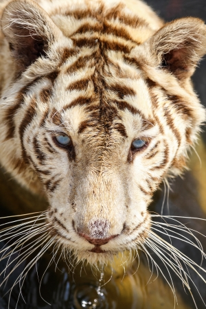 The close up of white tiger in the zoo  photo