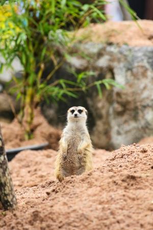 erdmaennchen: Meerkats  Suricata suricatta  are watching us