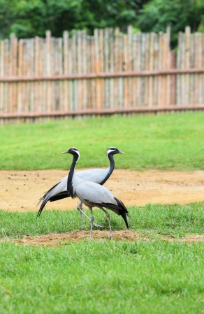 A couple of Demoiselle Crane Bird on the grass Stock Photo - 16564518