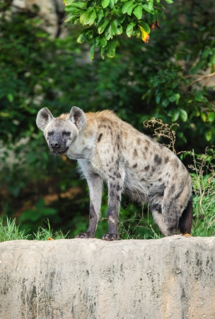 Hyena are stare at us with forest background  photo