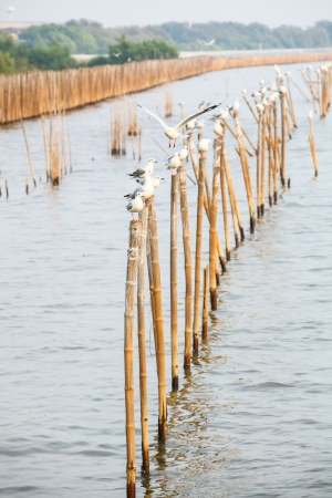 The Seagulls group are catching on the bamboo  at Bangpoo , Thailand Stock Photo - 16701819