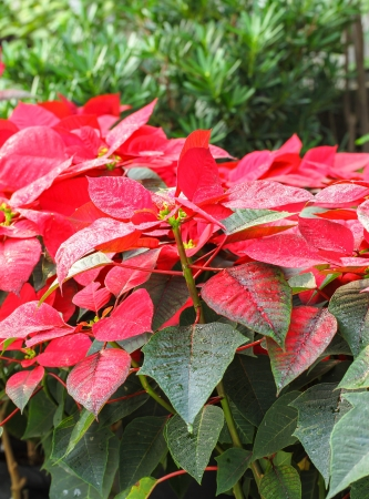 Poinsettia flower  or  Euphorbia pulcherrima flower for background use photo