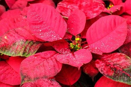 pulcherrima: Primo piano di fiore o Poinsettia Euphorbia pulcherrima che utilizzano per il Natale fiore