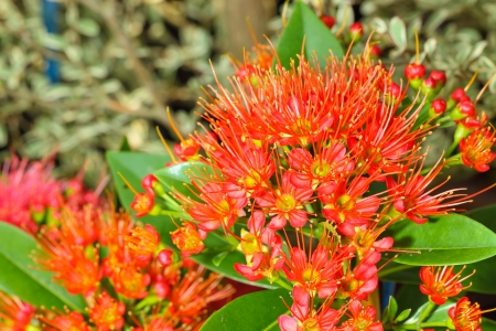 lose up: The lose up of Red Golden Penda flower or Xanthostemon chrysanthus