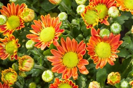 The top view of hybrid orange Chrysanthemum or Dendranthemum grandifflora Stock Photo - 16753352