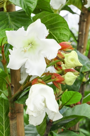 Big blooming of Easter Lily Vine flower or Beaumontia Grandiflora photo