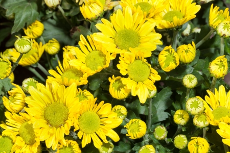 The top view of yellow Chrysanthemum for backgrond use Stock Photo - 16824258