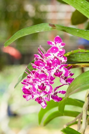 The close up of Rhynchostylis Orchid is blooming in the garden photo