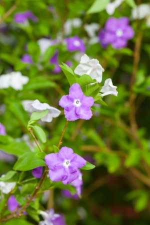 The  Yesterday Today and Tomorrow  flower or  Brunfelsia americana L