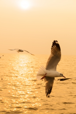 The seagull flying with the sunset background photo