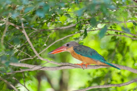 The portrait of Stork-billed Kingfisher bird photo