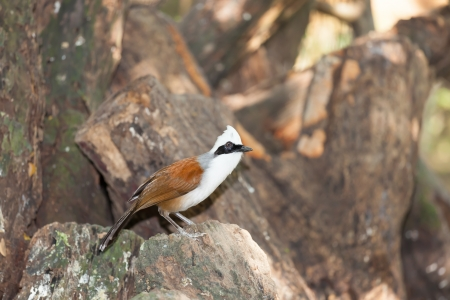 white crested laughingthrush: White-crested Laughingthrush bird standing on the rock