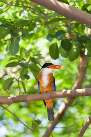 Black-capped king fisher bird catching on the tree and stair at us photo