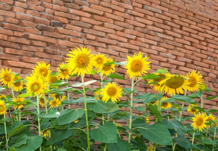 Sun flowers with ancient bricks in background photo