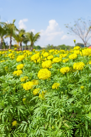Plenty of Marigold flower  Tagetes erecta L   is blooming for background used Stock Photo - 17023064