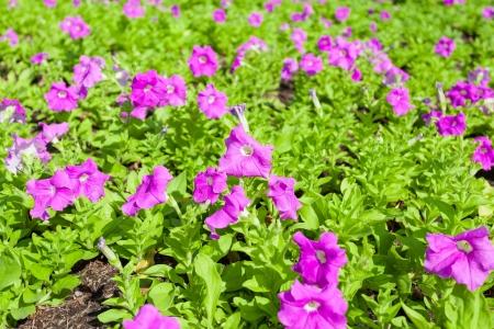 Deep purple Petunia flower  Petunia Hybrida  is blooming for background used Stock Photo - 17023397