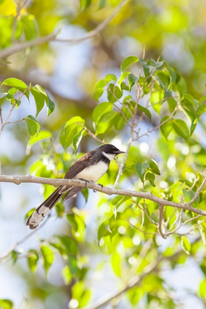 Pied Fantail bird  Rhipidura javanica  on the tree Stock Photo - 17048917