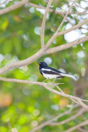 Oriental Magpie Robin  Male  bird in the forest photo