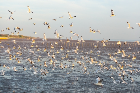 Plenty of Seagulls bird flying for background used  photo