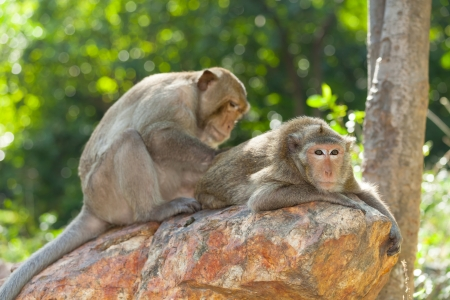 Lovely Monkey  Long-Tailed Macaque  cleaning each other with lover photo