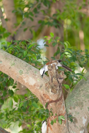 white crested laughingthrush: White-crested Laughingthrush bird on Banyan tree and play with his friend Stock Photo
