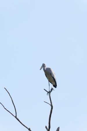 oscitans: Asian Openbill stork on top of the tree with blue sky background in Thailand