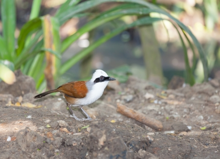 white crested laughingthrush: White-crested Laughingthrush bird standing on the ground and ready to fly