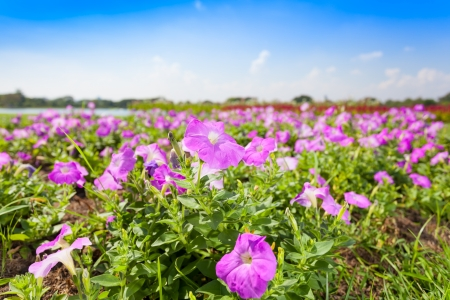 Plenty of Petunia flower  Petunia Hybrida  is blooming for background used   Stock Photo - 17232323