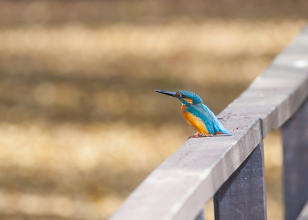 kingfisher: Common Kingfisher  Alcedo atthis  on the bridge and ready to find the food Stock Photo