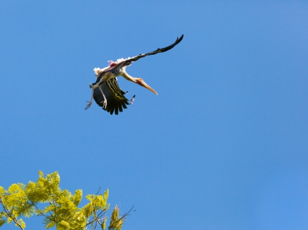 The beautiful landing position in the air of Painted Stork Stock Photo - 17338526