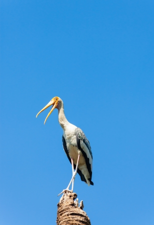 The Painted Stork bird act for camera and smile Stock Photo - 17338527