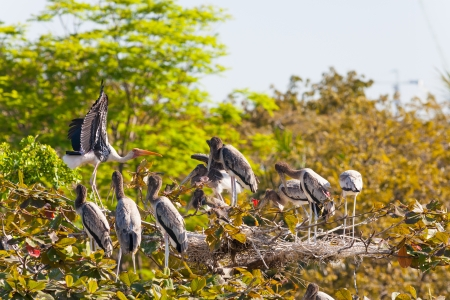 The Painted Stork  Mycteria leucocephala   bird and her family on top of the tree Stock Photo - 17338539