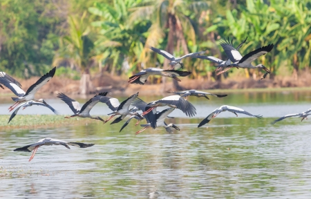 Asian Openbill stork  Anastomus oscitans  group flying on the pond photo
