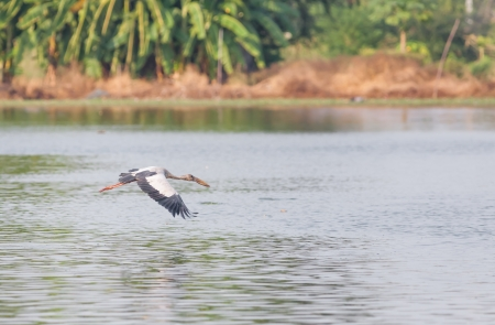 Asian Openbill stork  Anastomus oscitans  group flying alone near top of the pond photo