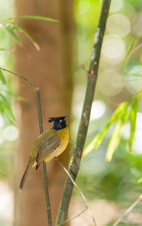 Black-crested Bulbul  Pycnonotus flaviventris   bird in the forest in Thailand Stock Photo - 17466941