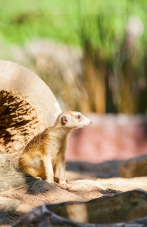 The picture of the lovely Meerkat  Suricata suricatta   Stock Photo - 17473567