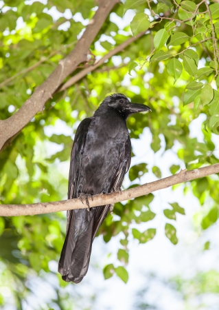 The portrait of deep black Crow bird on the tree  photo