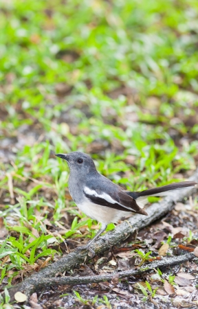 femal: Femal Oriental Magpie Robin  Copsychus saularis  bird on the ground Stock Photo