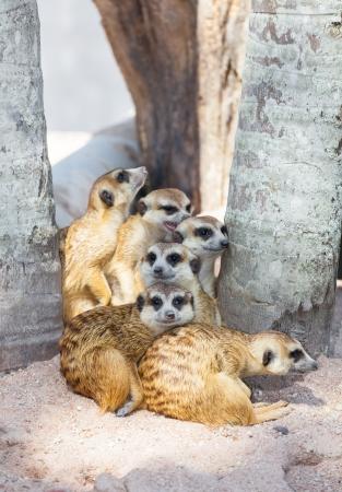 erdmaennchen: The meerkat  Suricata suricatta  family for background use
