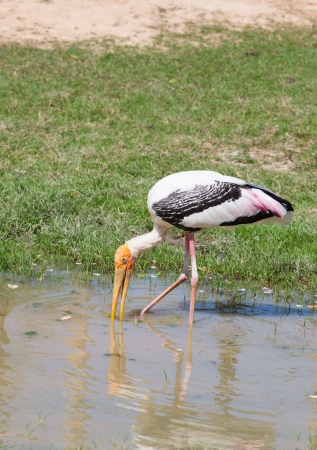 Full adult Asian Openbill stork  Anastomus oscitans  use leg and lip finding the food  photo