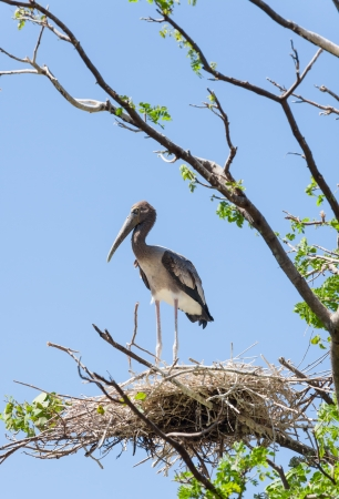 Alone Asian Openbill stork  Anastomus oscitans  on its home with blue sky background photo