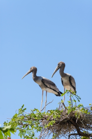 Two brother of Asian Openbill stork  Anastomus oscitans  with blue sky background photo