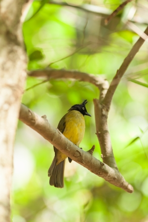 Black-crested Bulbul  Pycnonotus flaviventris   bird in the forest in Thailand photo