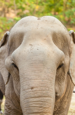 The portrait of old female Asia elephant which show on her skull  photo