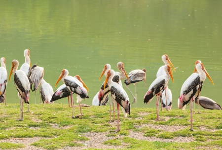 The big group of Painted Stork  Mycteria leucocephala   birds near the pond photo