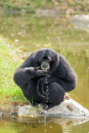 siamang: The Siamang Gibbon Symphalangus syndactylus  is drinking  the water